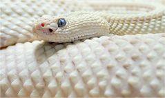 White Rattlesnake