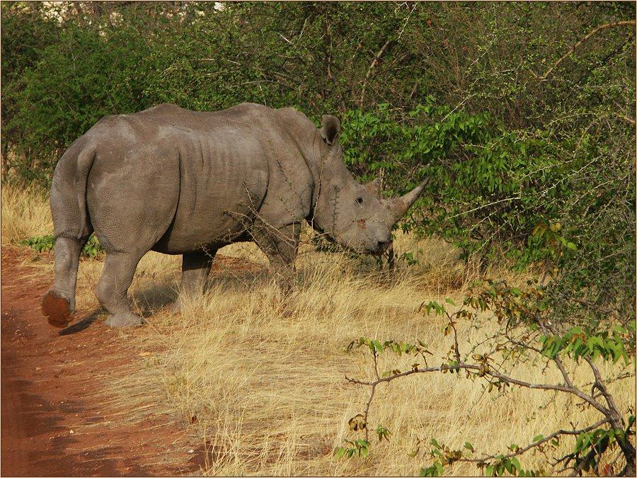 """White Rhino"""