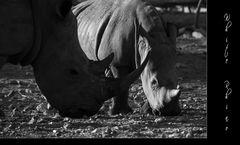 White Rhino I