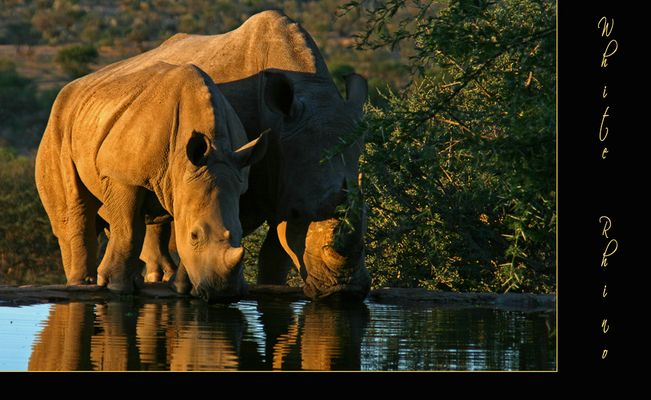 White Rhino II