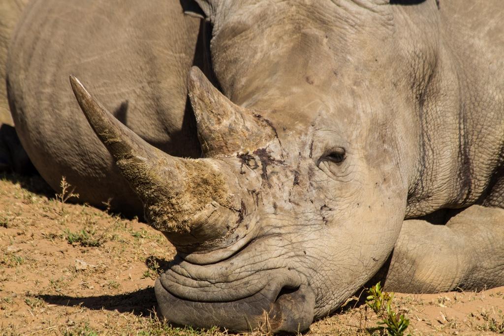 White Rhinoceros - Stop Poachning now!
