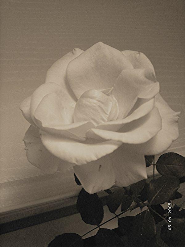 white rose ..