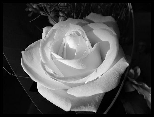 *...White Rose...*