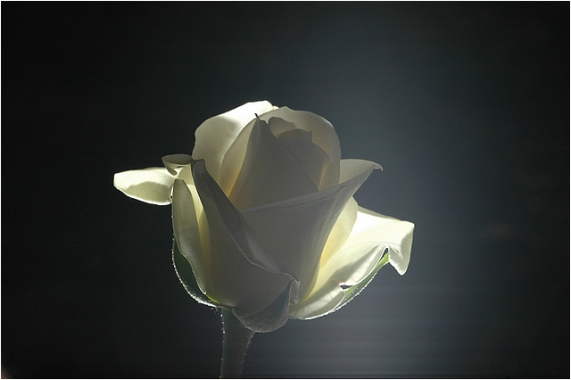 White Rose Backlight