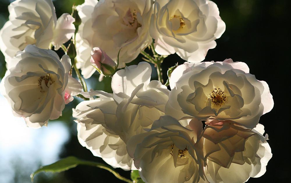 white roses. planten un blomen.