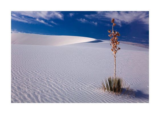 White Sands - Soaptree Yucca I