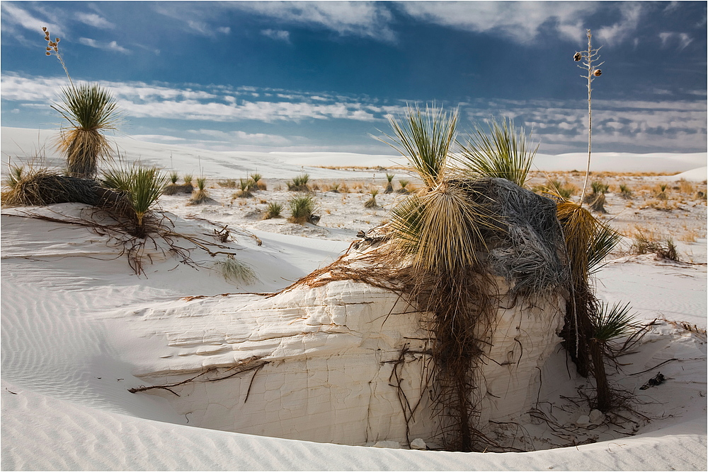 White Sands - Soaptree Yucca II