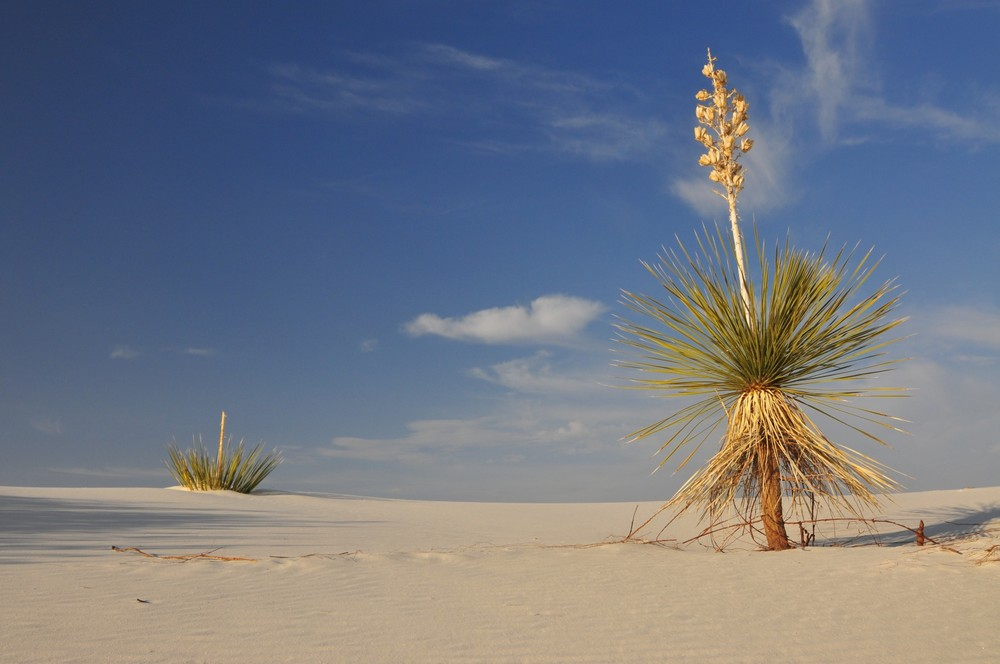 White Sands Yucca Invasion