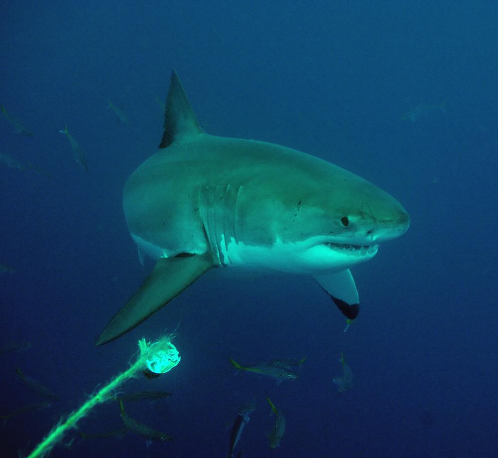 white shark II - kleiner weisser Hai