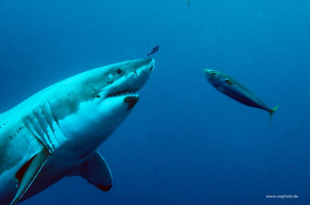 white shark III - Shredder
