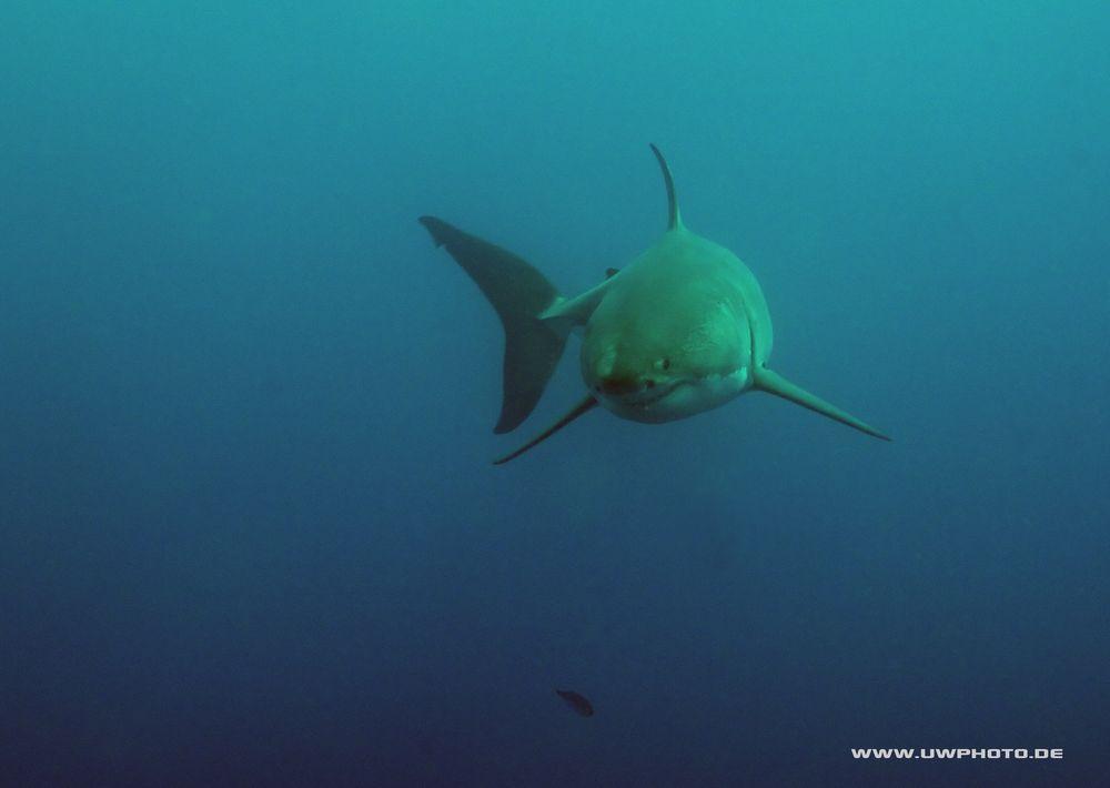 white shark IV