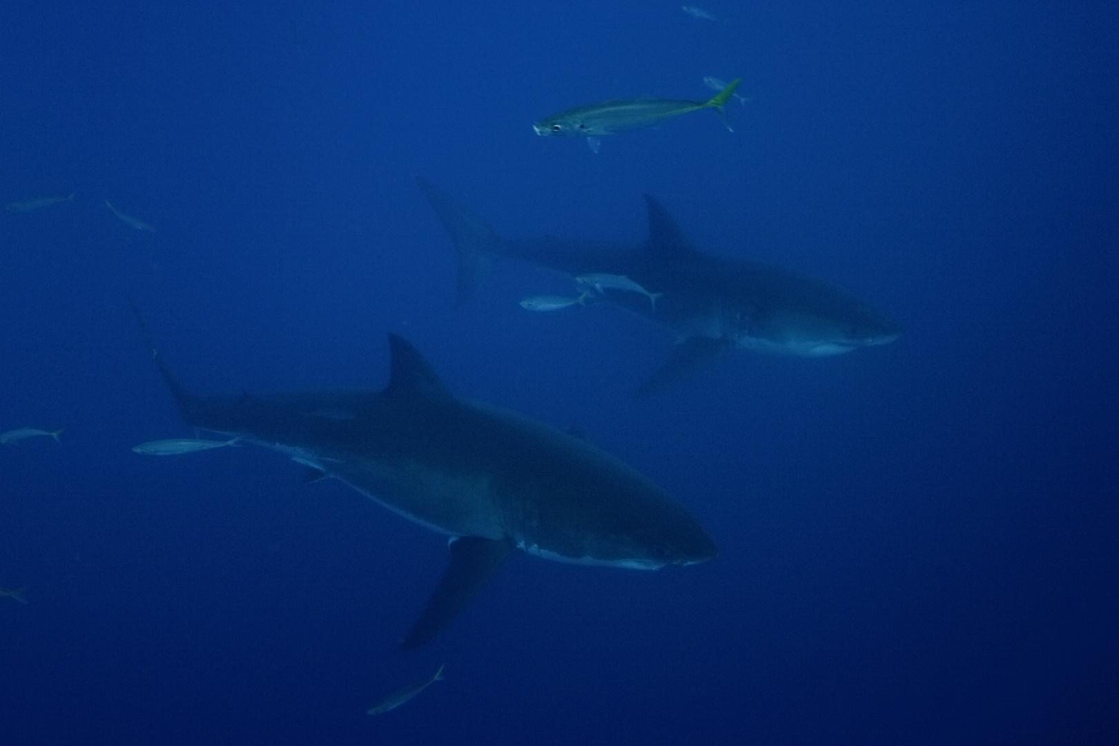White Shark VIII