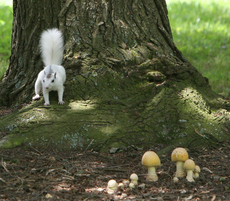 White Squirrel Mushroom