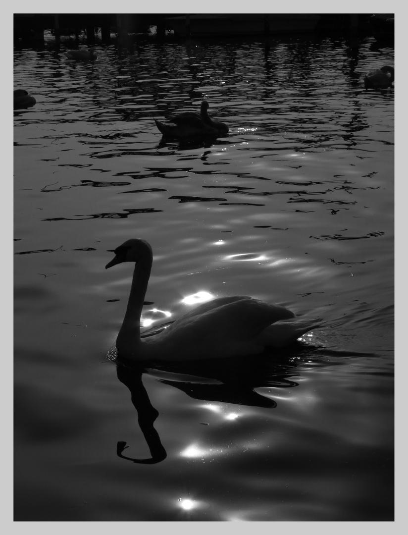 WHITE swan BLACK