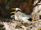 White-tailed tropicbird, eine der seltenen Vogelarten auf den Seychellen.