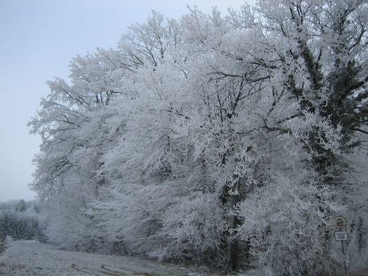 White trees in switzerland