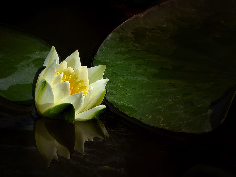 ... white water lily usually at five o'clock closes its flowers