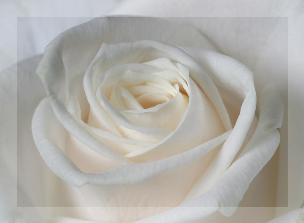 white white rose....