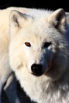 white wulf