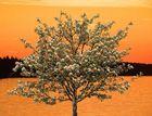 Whitebeam blooming at sunset