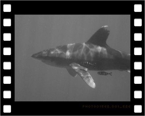 White/Black Shark