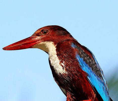 Whitebreast Kingfisher