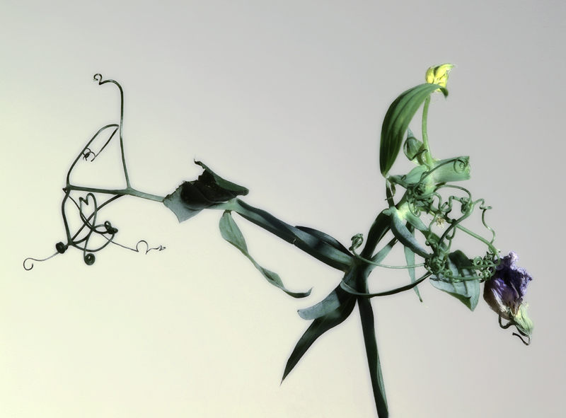 Wicke (Lathyrus Heterophyllus L.)