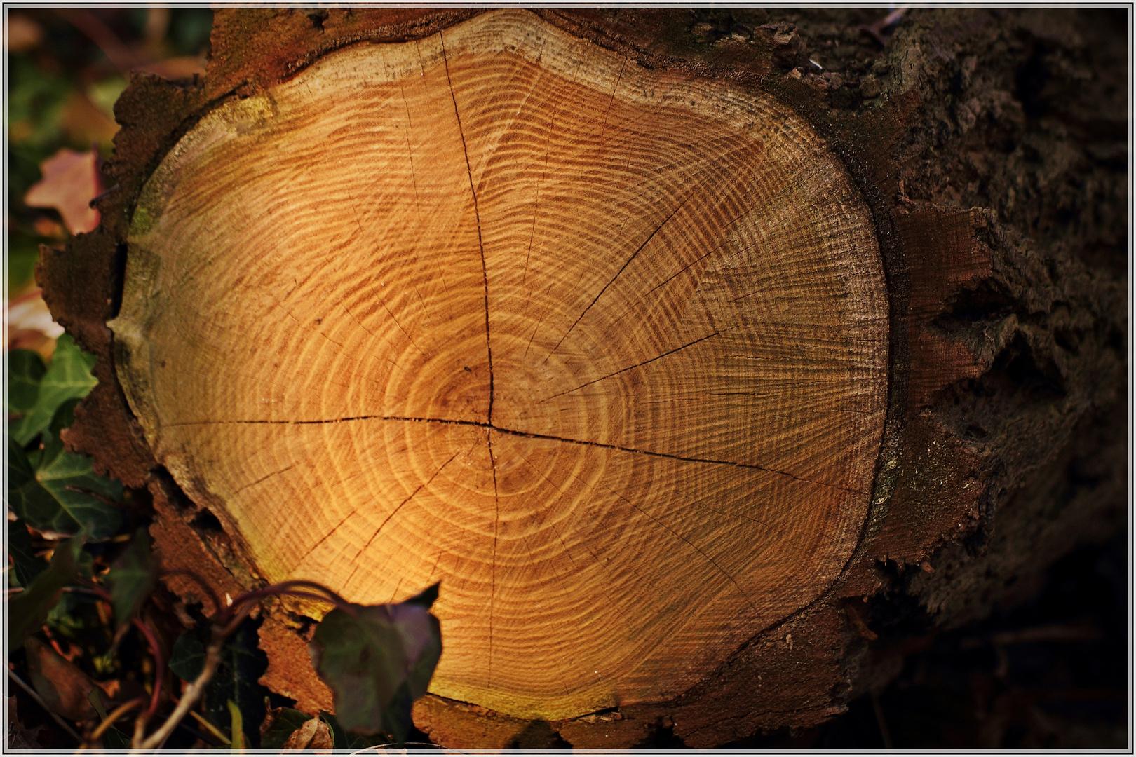 Wie alt war dieser Baum wohl?....