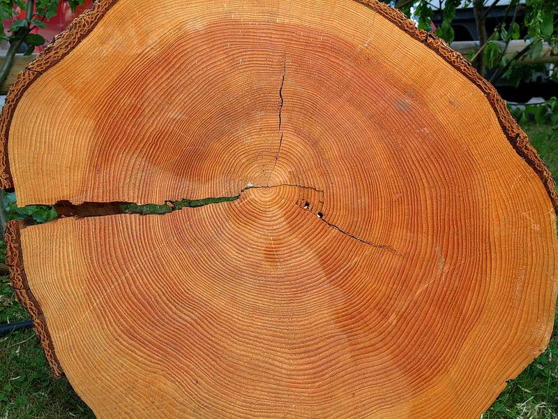 wie alt wurde dieser Baum?