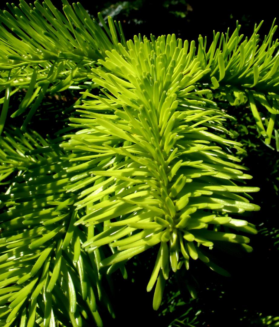 Wie Anemonen wirken die frischen Tannennadeln