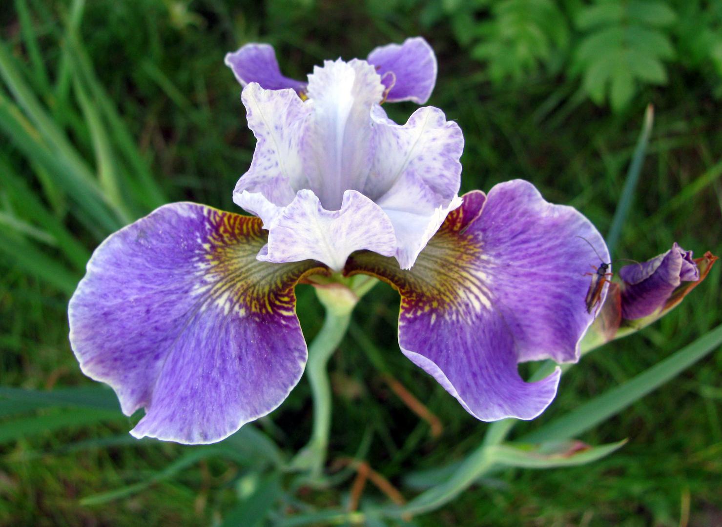 Wie bekommt die Natur diese Farben hin bei dieser blauen Iris