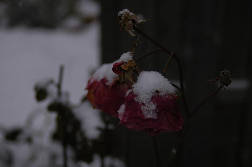 Wie die Rose in unserem Garten