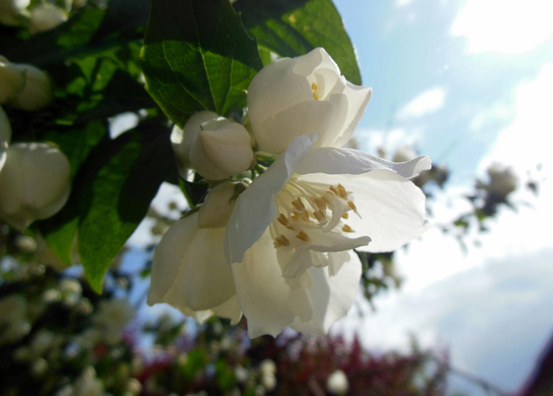 Wie die zarten Blumen willig sich entfalten ...