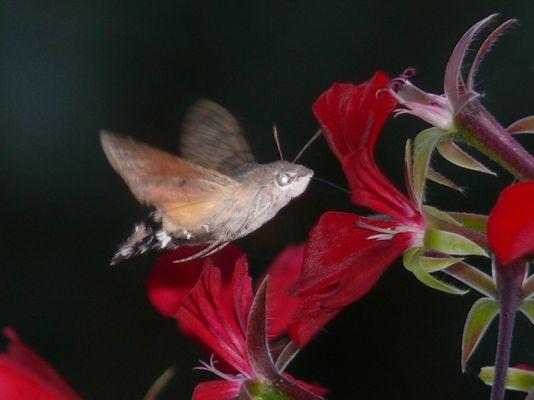 Wie ein Kolibri....