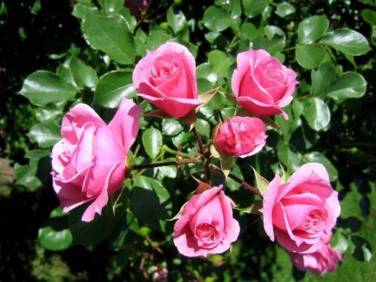 Wie ein Rosenstrauß