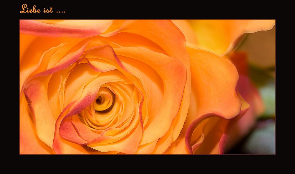 ... wie eine blühende Rose