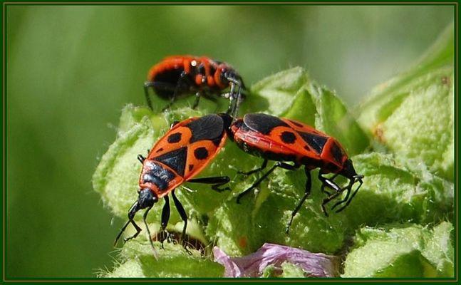 Wie heißt denn dieser Käfer, Wanze, Schabe?