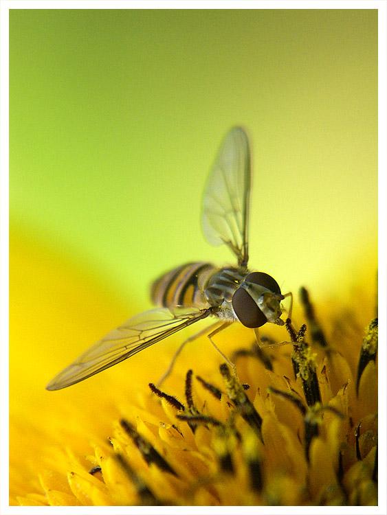 Wie heißt diese Fliege überhaupt,...