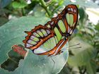 Wie heisst dieser Schmetterling?