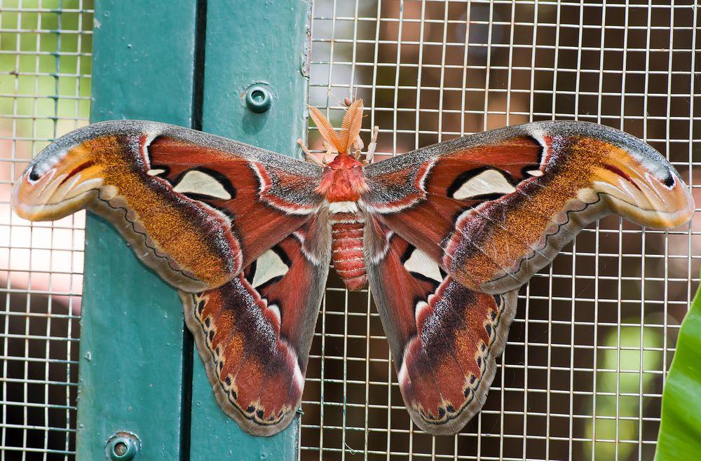 Wie heißt dieser Schmetterling
