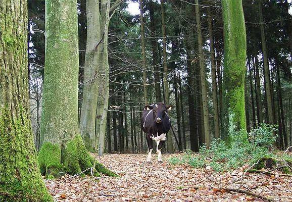 Wie kommt Bessy in den Wald?