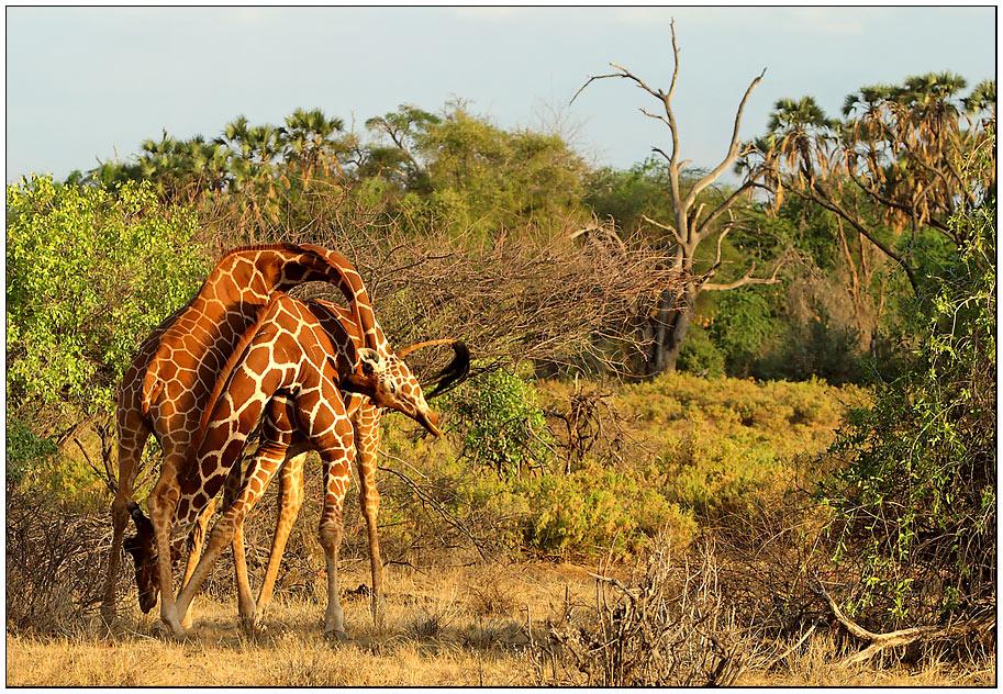 Wie macht man einen Giraffenknoten?