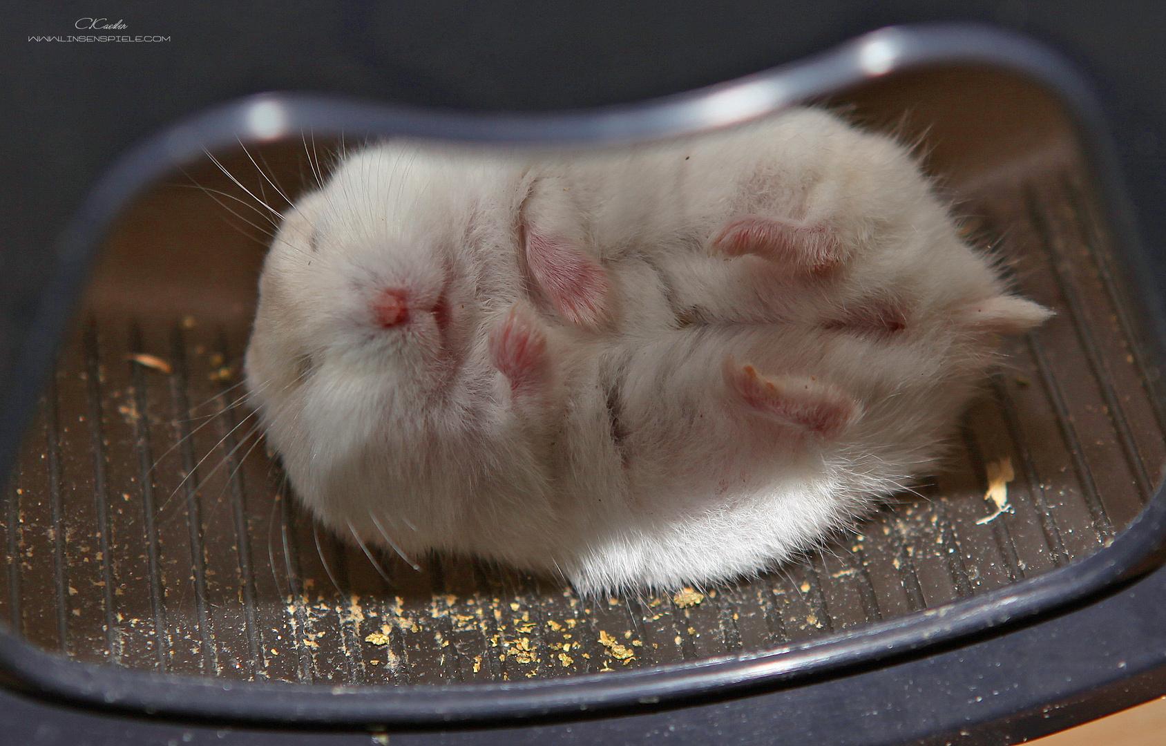 Wie mein Hamster im Rad schläft...