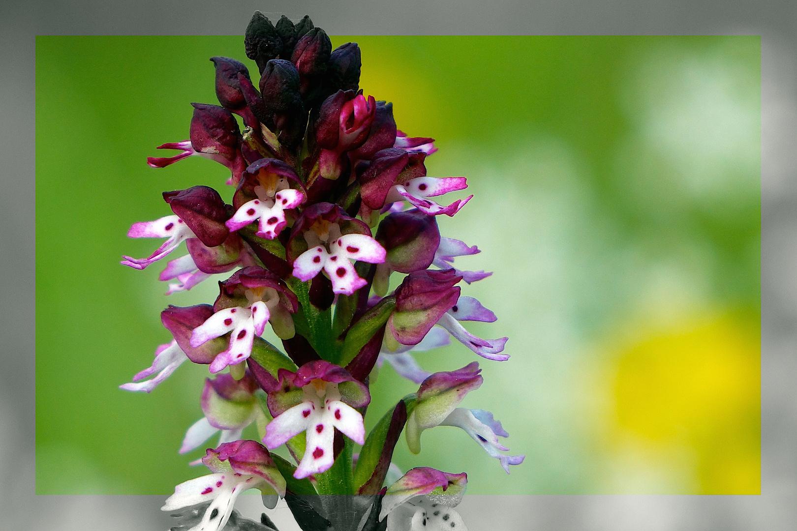 Wie prächtig blühen heimische Orchideen - wie dieses Brand-Knabenkraut!