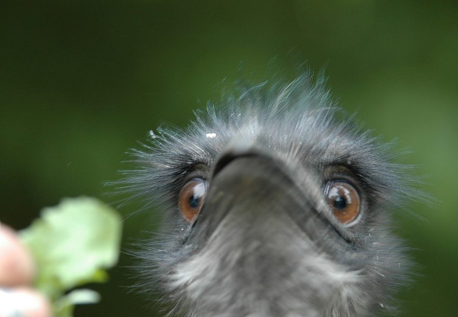 ...wie schmeckt Ihnen Löwenzahn, Herr EMU ? ? ?