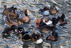 Wie viele Enten zählt ihr...