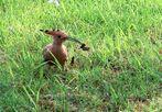 Wiedehopf im Gras