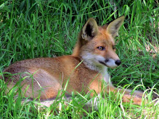 wieder der Fuchs