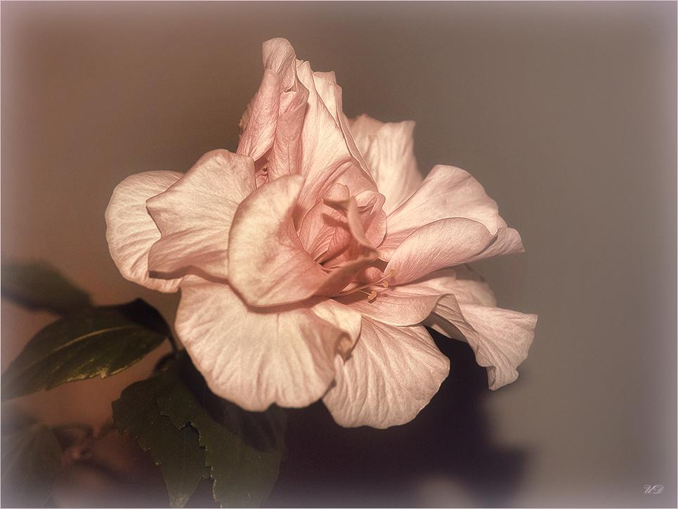 wieder eine Hibiskusblüte bei uns zu Hause