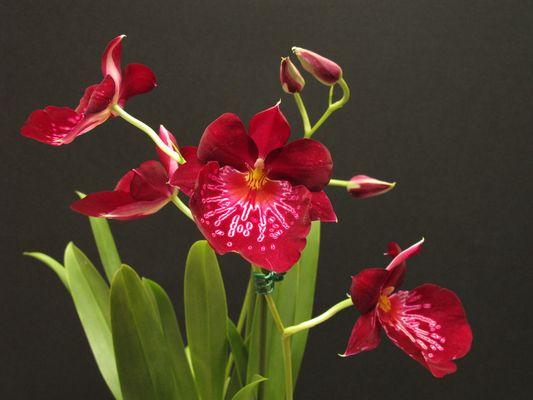 Wieder eine Orchidee